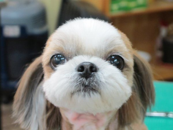 Pin On Shih Tzu S Are So Silly