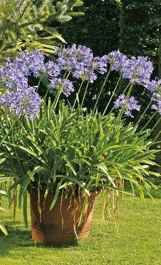 Schmucklilien Schmucklilie Garten Schattenpflanzen
