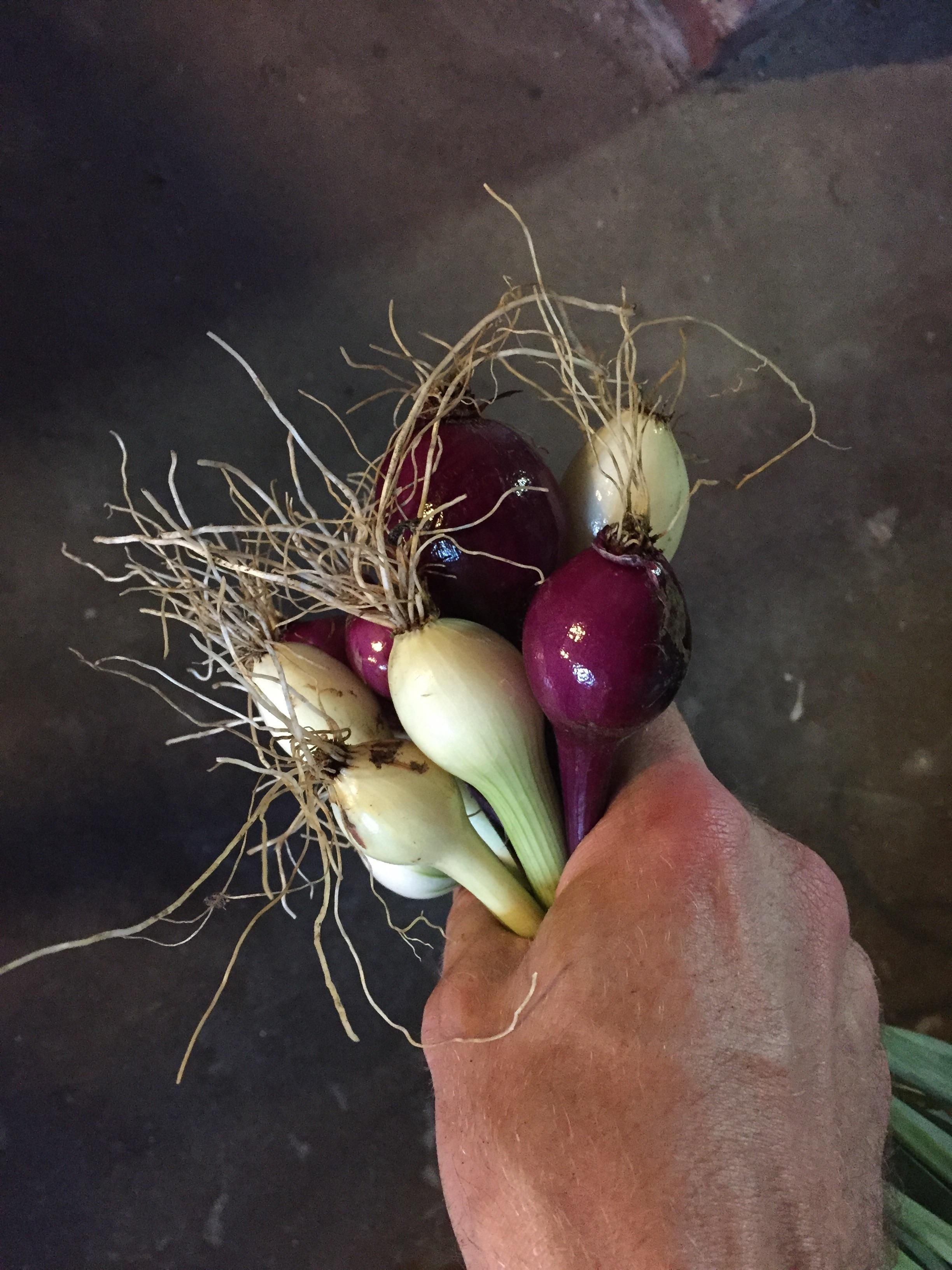 Onion harvest #gardening #garden #gardens #DIY #landscaping #home #horticulture #flowers #gardenchat #roses #nature