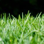 More About Using St. Augustine Grass For Your Lawn Drought Tolerant Grass Varieties - What Are Some Types Of Drought Resistant Grass For LawnsDrought Tolerant Grass Varieties - What Are Some Types Of Drought Resistant Grass For Lawns