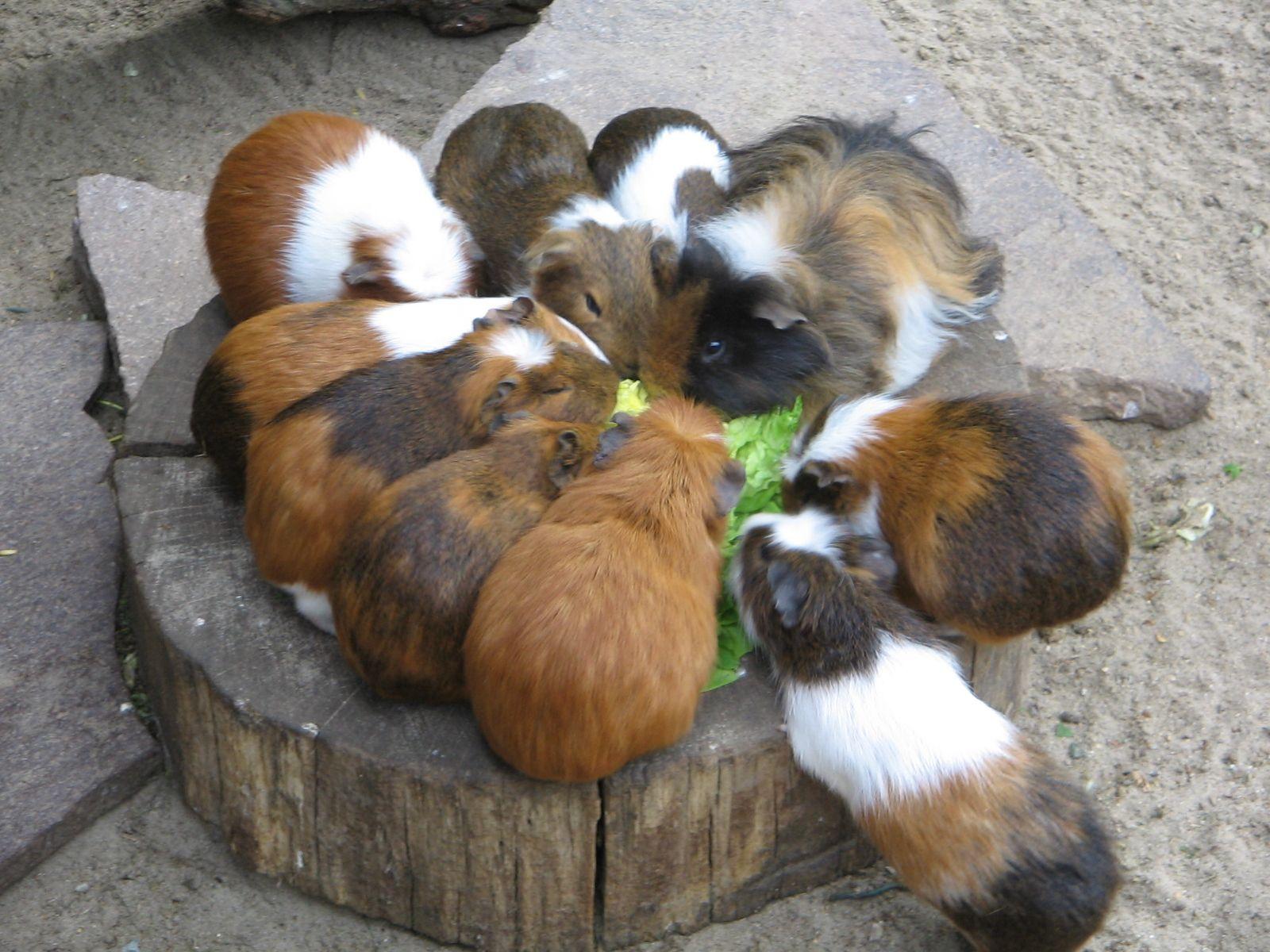 Gruppe_von_Meerschweinchen animalsmeeries