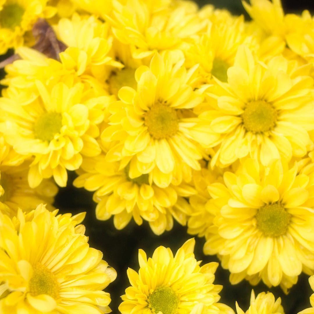 Floria 2016 Putrajaya Flower Photography Yellow Mum Flower Crop