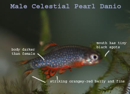 How to tell sex of danio