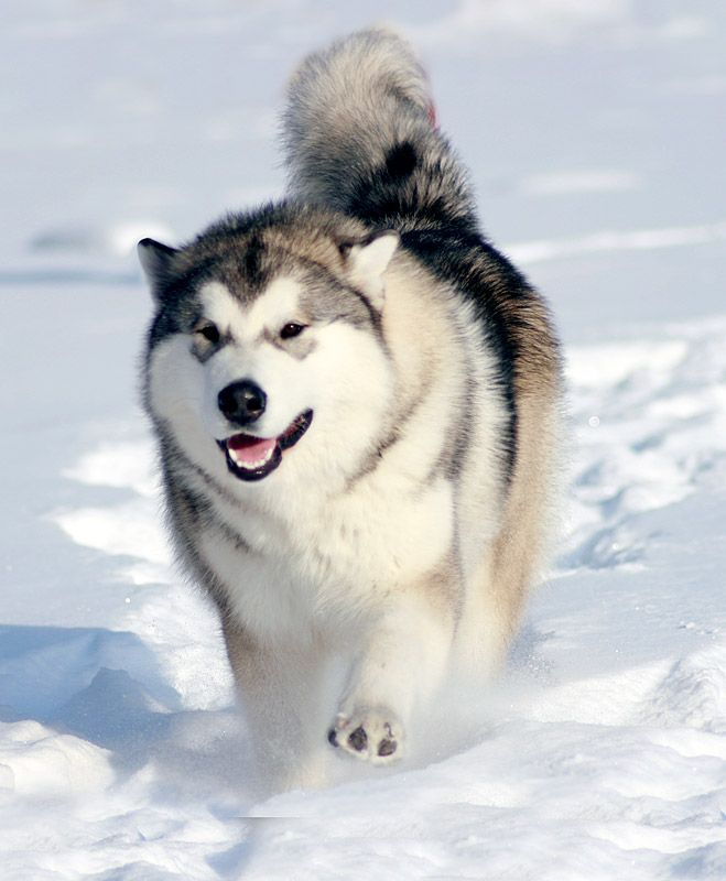 Malamute In Snow Please Dont Be This Big Little Man Alaskan