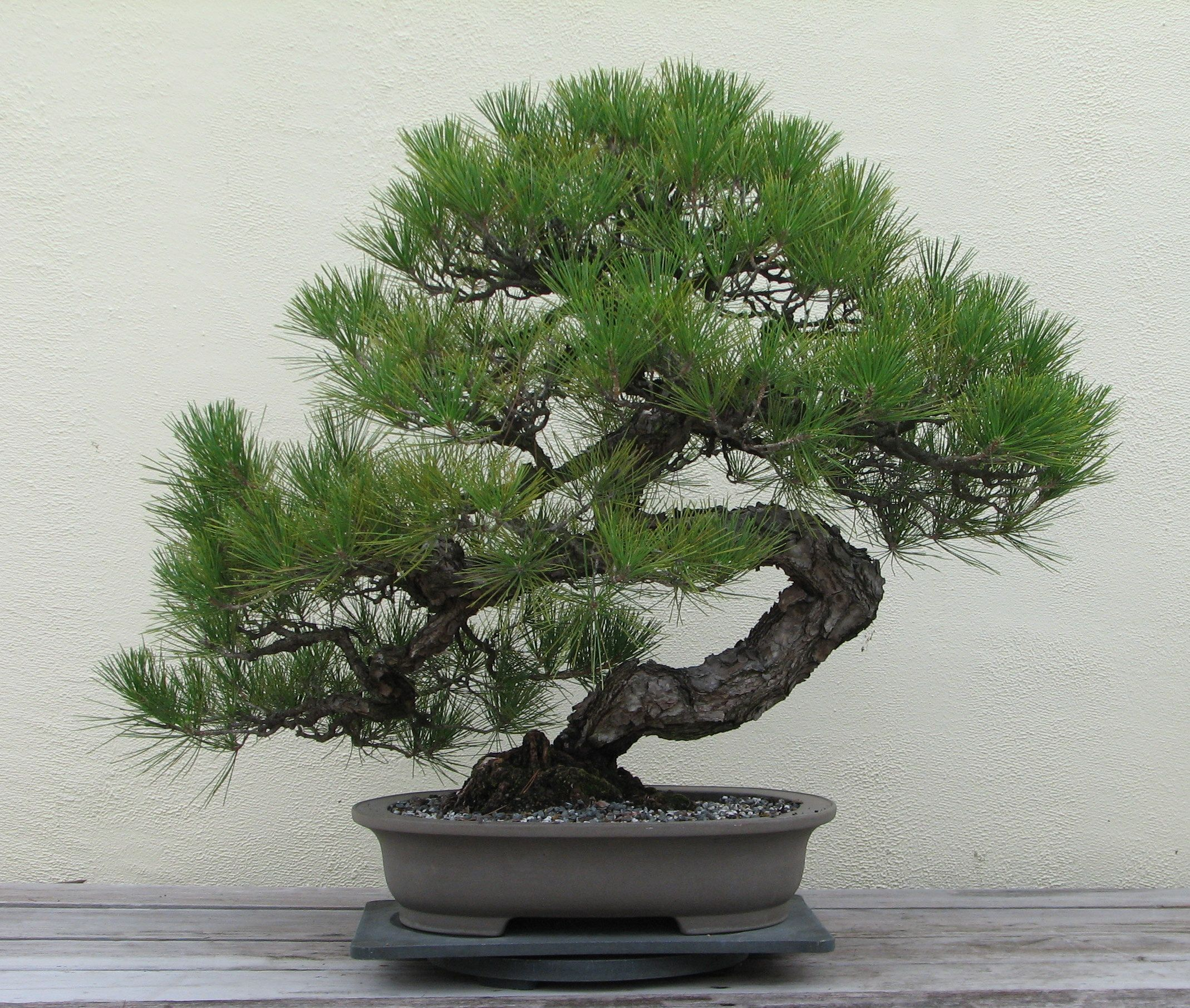 Japanese black pine tree - Pinus T. - bonsai plant ...