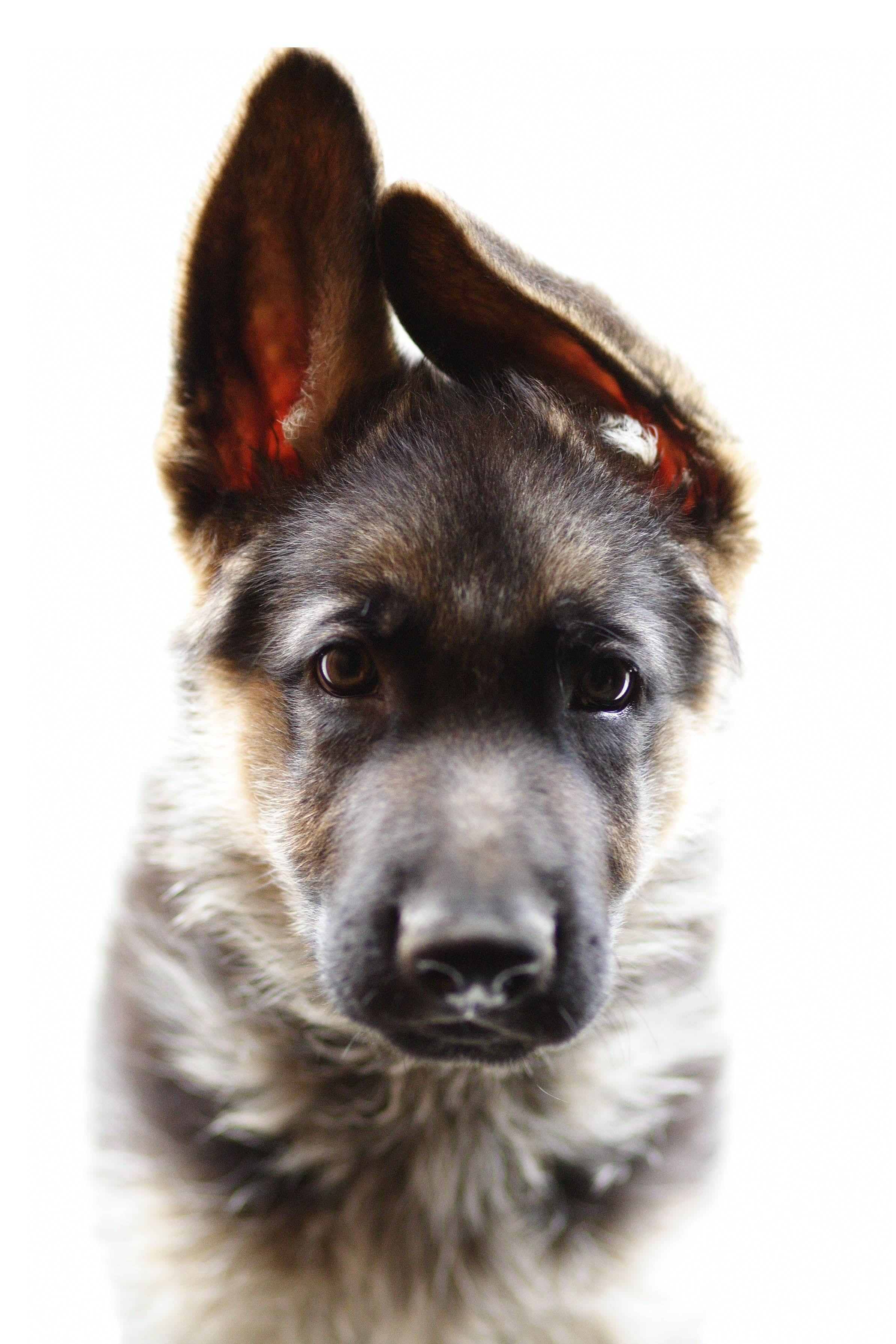 german shepherd puppy want one! Whatever stuff
