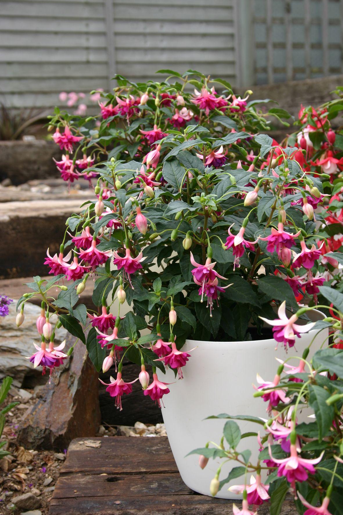 Fuchsia Shadowdancer Amelie Fuchsia Flowers Fuchsia Flower Fuchsia Plant