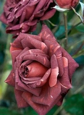 Photography Nature 11 Most Beautiful Roses