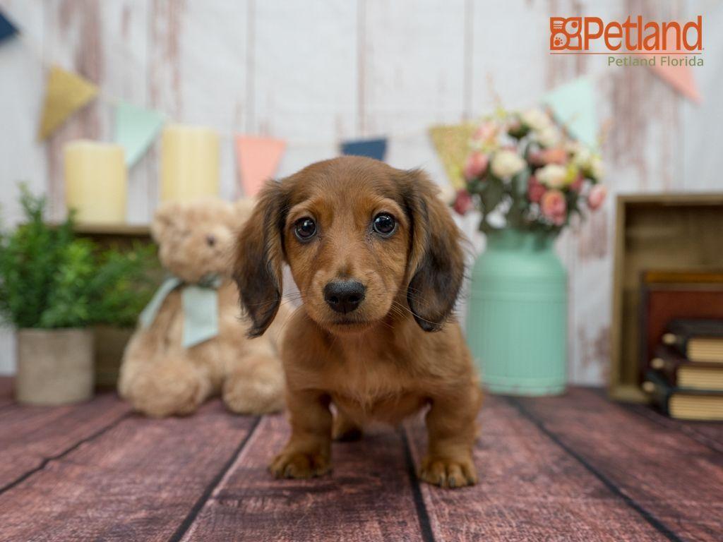 Puppies For Sale Puppies for sale, Cute puppies, Cute