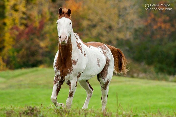 #pinto #horse #autumn #fall