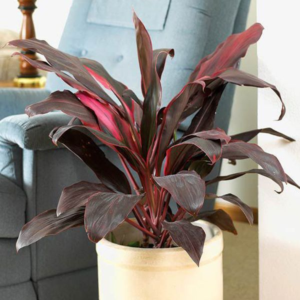 Dracaena Mahatma Cordyline Terminalis Plant Online At Nursery Live Best Plants
