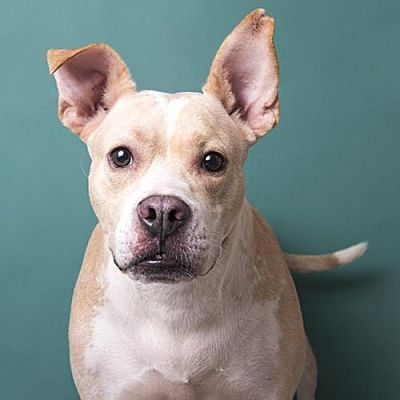 Anniston Al American Pit Bull Terrier Meet Sweet Pea A Pet For Adoption Adopt Me