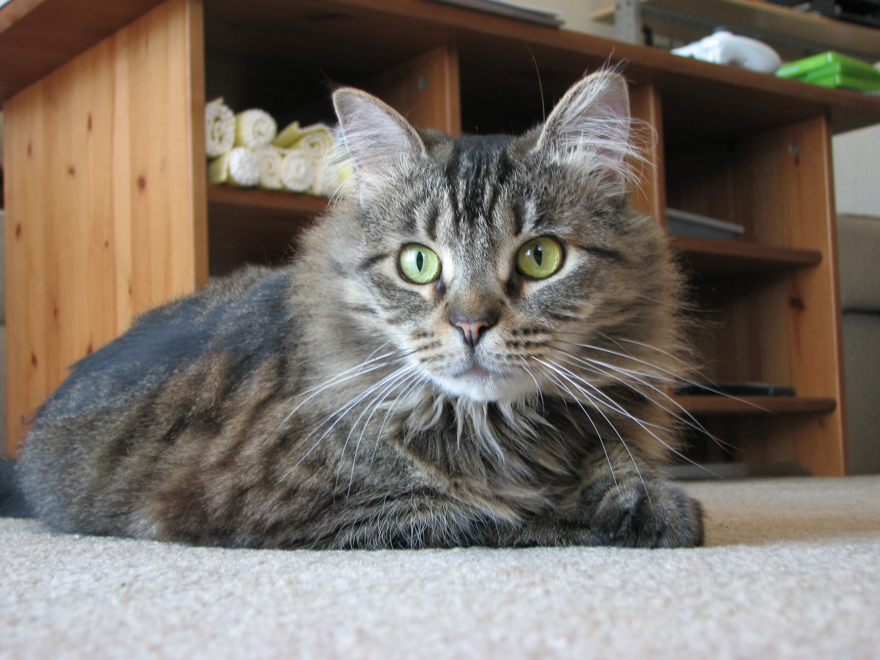 Xena, female Mainecoon Mix. Born feral, trapped at 2yrs