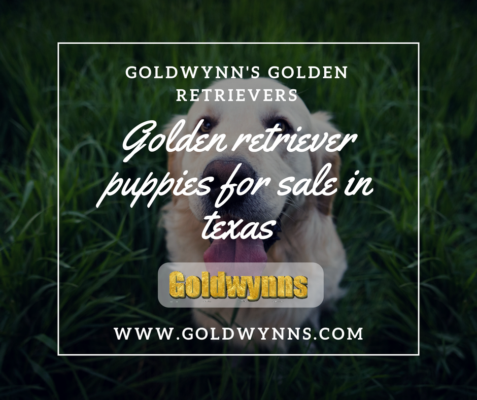 Goldwynns are one of the most reputed English Golden