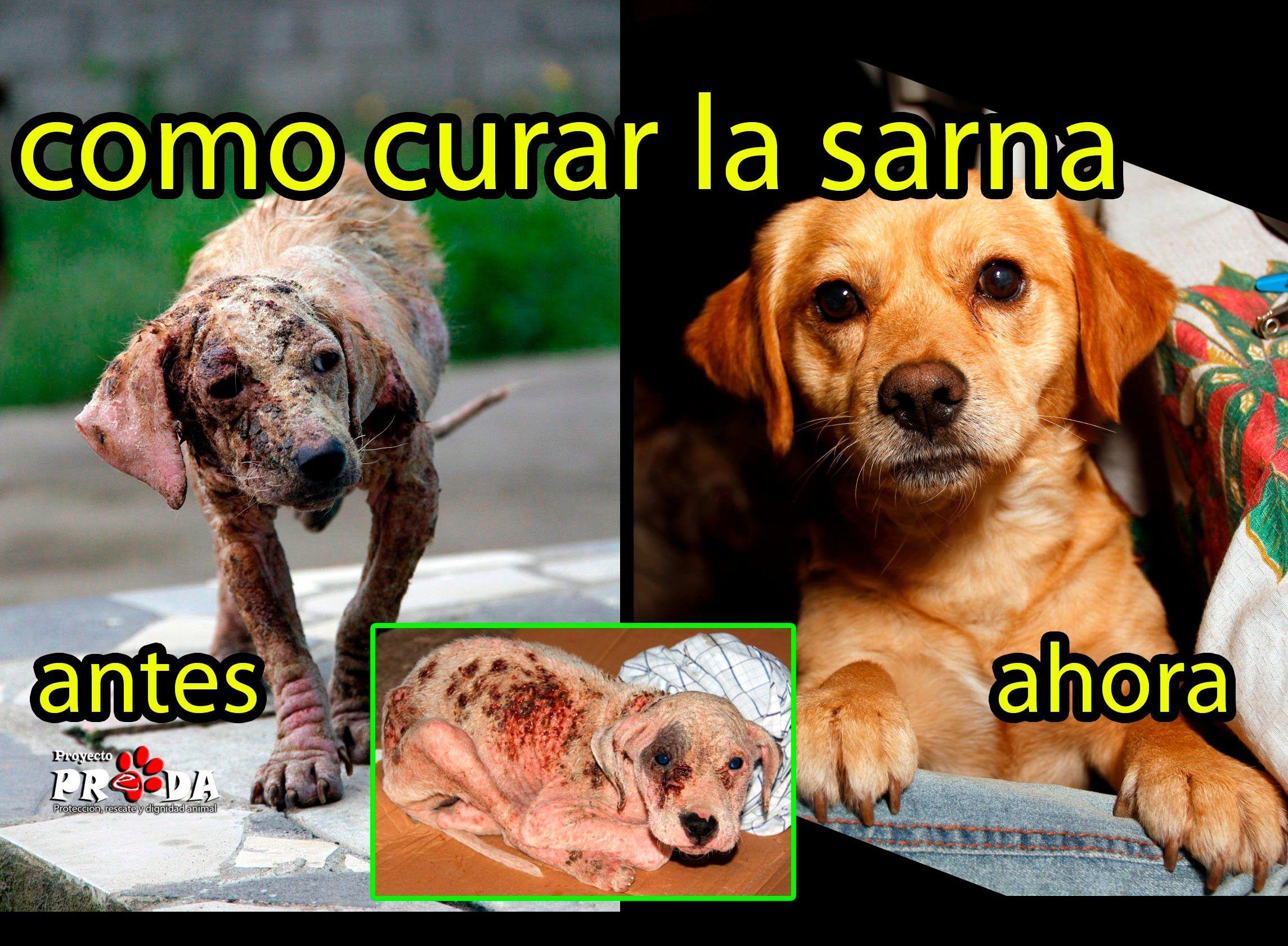 como curar infeccion en la piel de perros