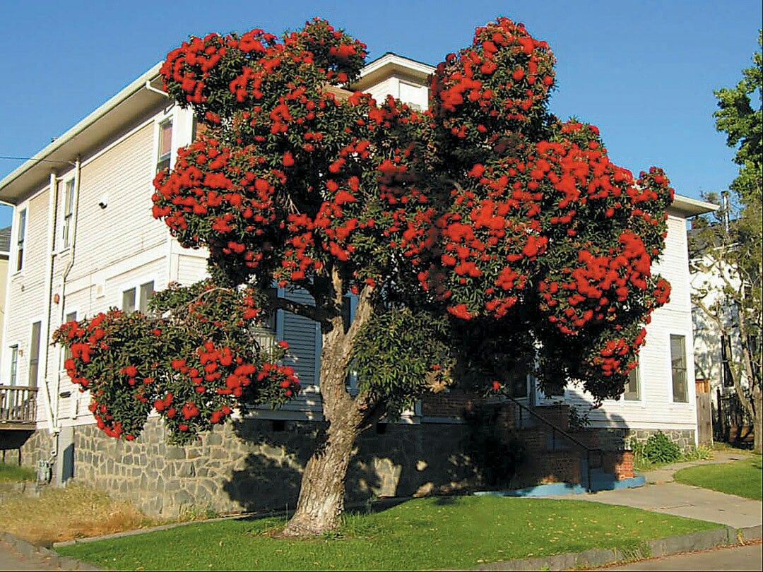 30 Mosquito Repellent Plants Red Flowering Gum Tree Eucalyptus Ficifolia Mosquito Repelling Plants Flowering Trees Plants