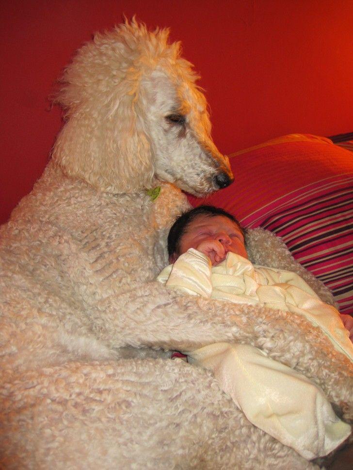 The Proud Surrogate Papa Max The Wonder Standard Poodle Gambas