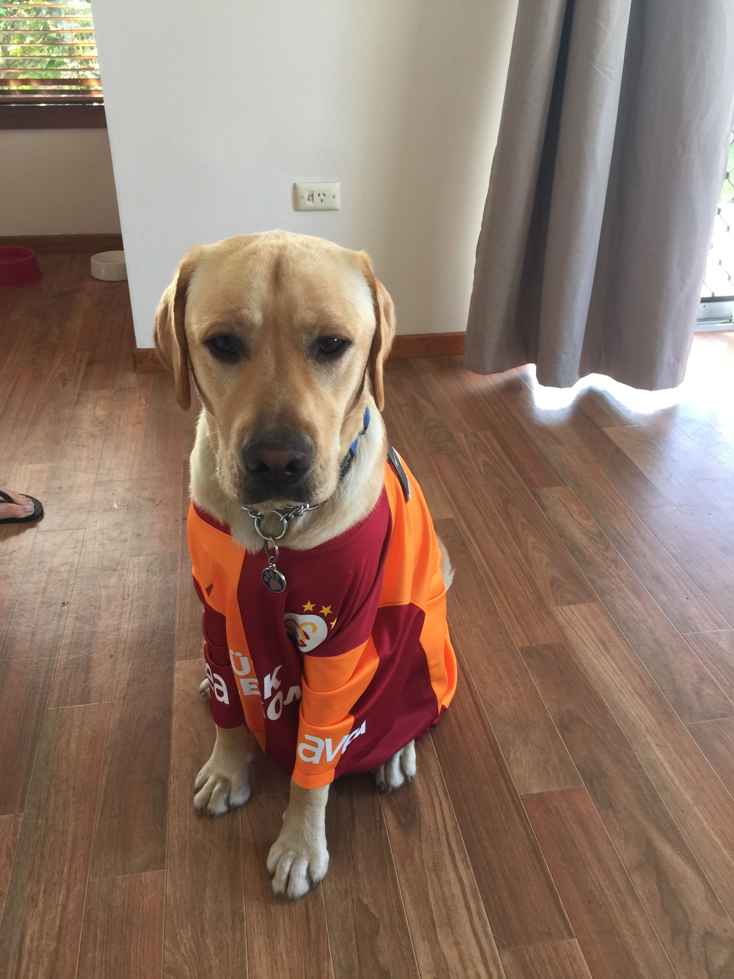 Buddy Labrador | Pawshake