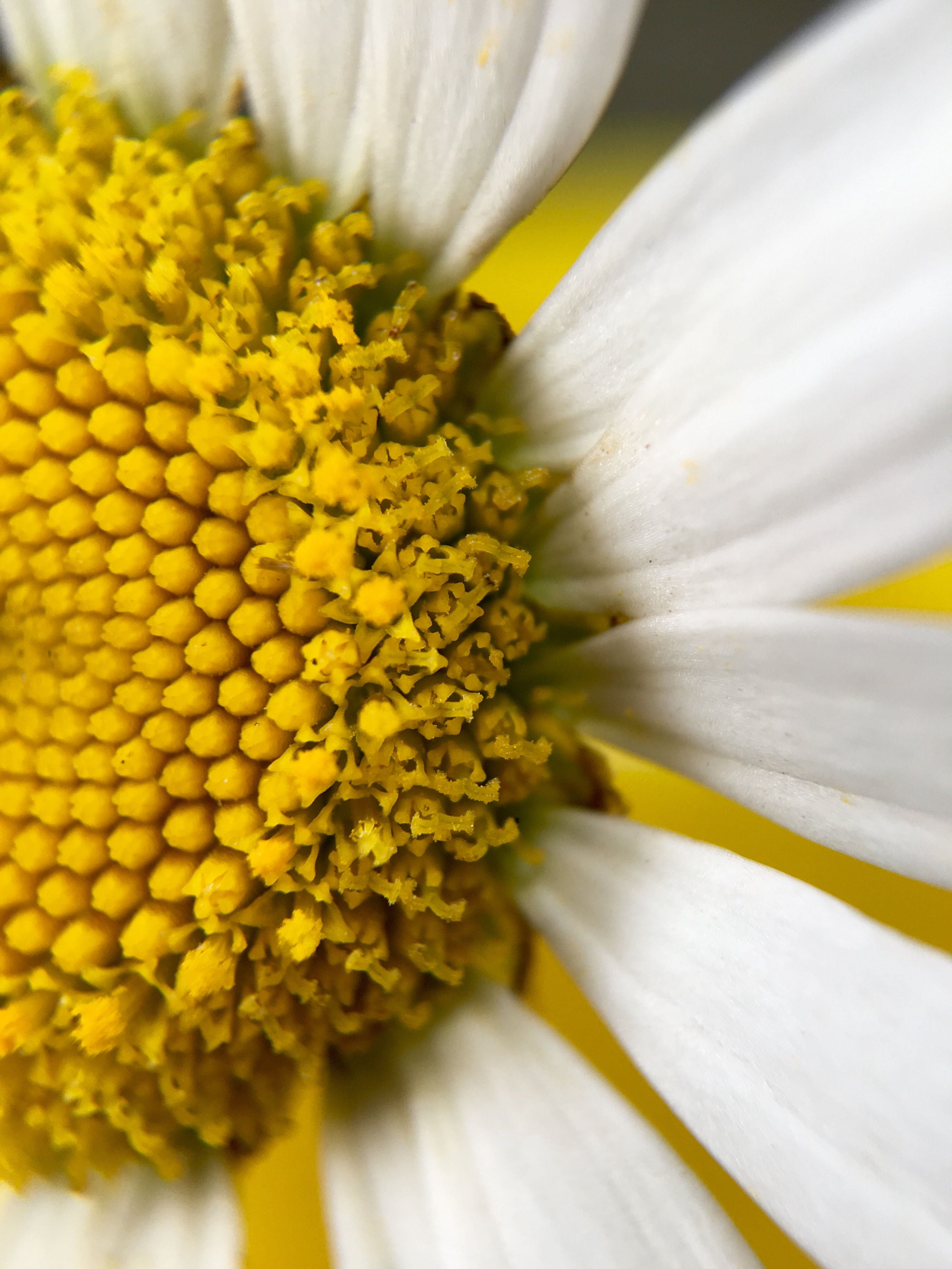 watch 04612 9bd26 14 x magnification of a daisy using olloclip macro lens & iPhone 6s ...