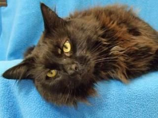 Elmer Is A Handsome Male Domestic Longhair Cat They Estimate To Be Around 4 5 Years Old He Doesn T Seem To Get Along With Other Purebred Cats Cats Humane Society