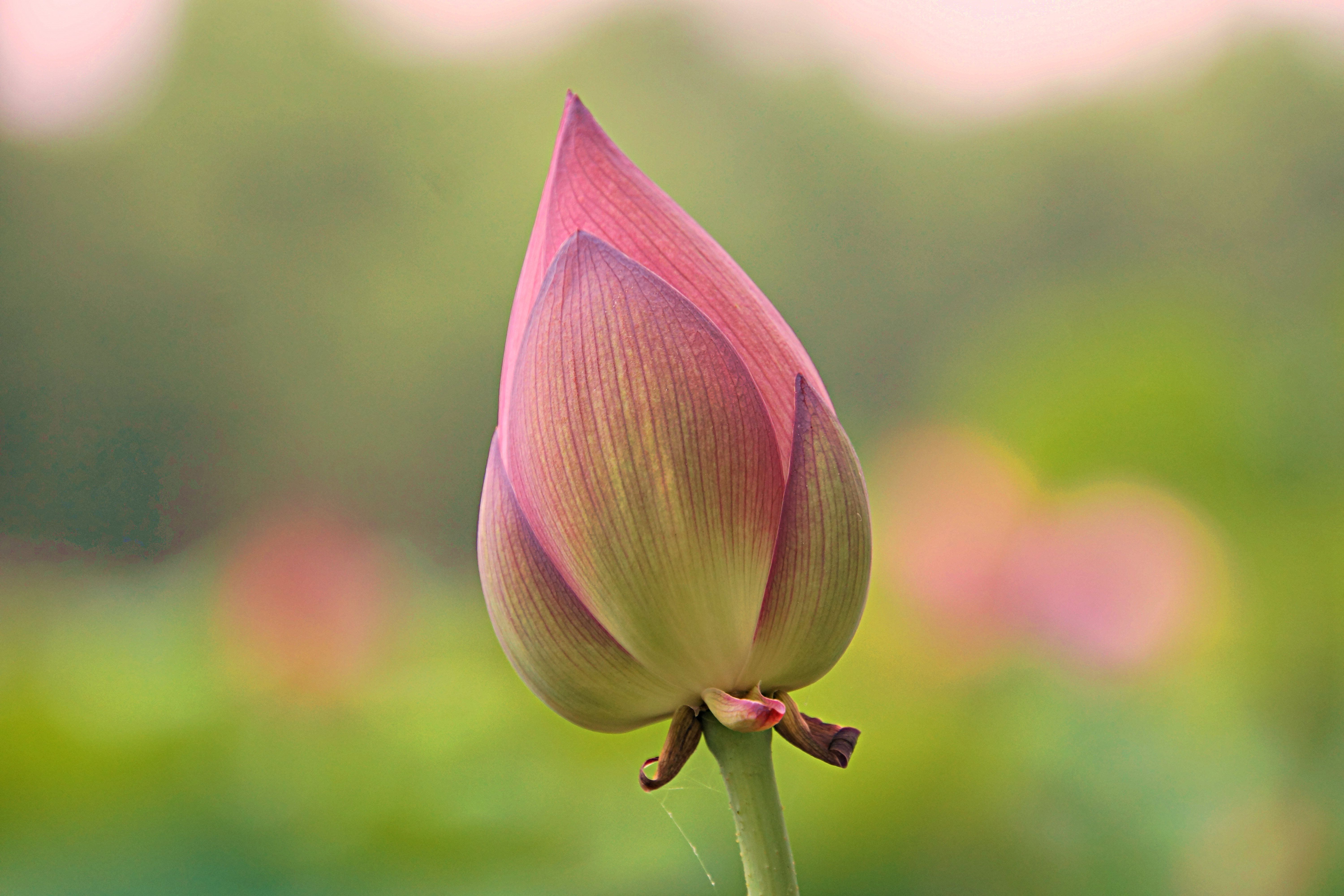 Lotus flower bud wallpaper 42 bloemen pinterest lotus flower lotus flower bud wallpaper 42 izmirmasajfo