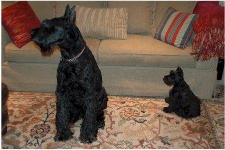 A Giant And A Mini How Cute Schnauzer Schnauzer Puppy Miniature Schnauzer Puppies