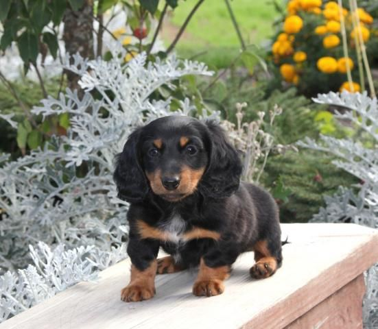 Puppies Puppies And More Puppies Daschund Infatuation