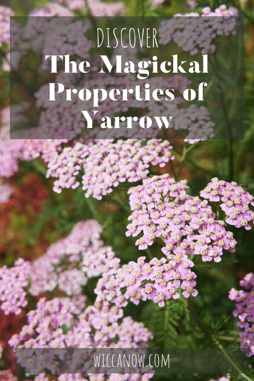 Yarrow Magical Properties And Benefits In 2020 Yarrow Healing Plants Yarrow Plant