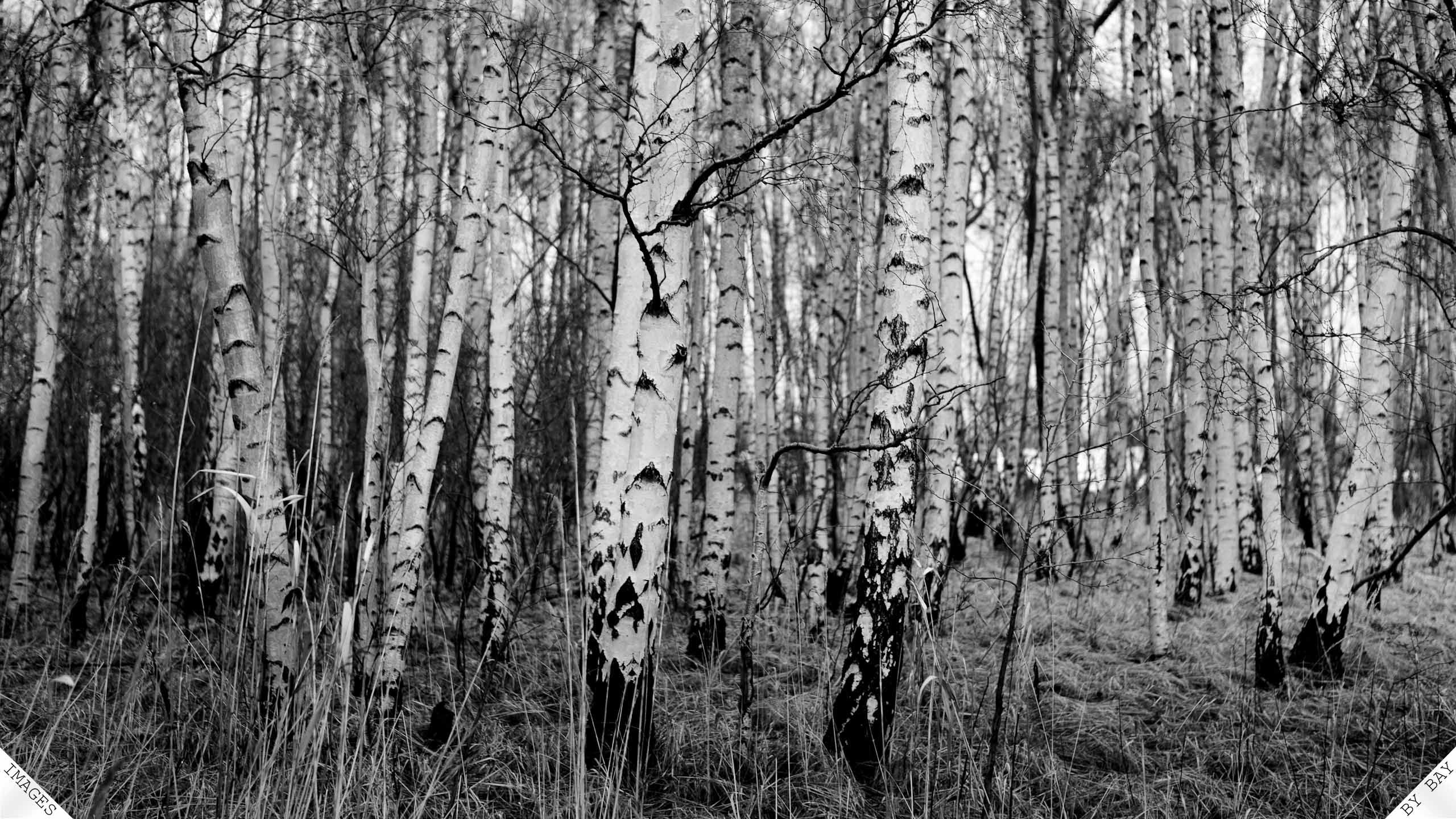 Black White Birch Tree Wallpaper Vinyl