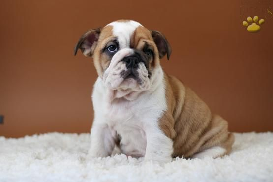 Chanel English Bulldog Puppy For Sale In Fairview Nj