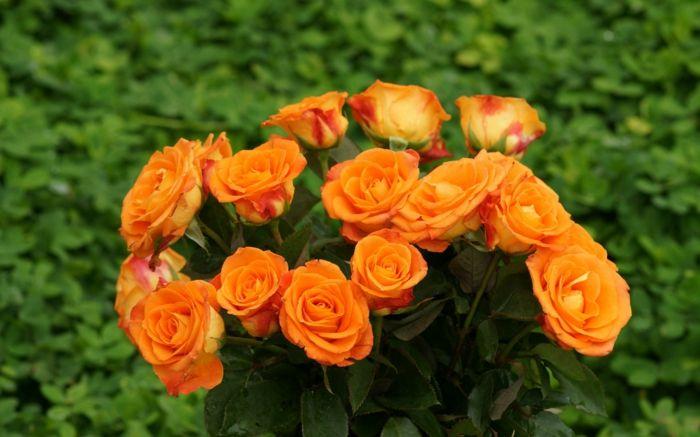 Die Rosenfarbe Bedeutung - beherrschen Sie die