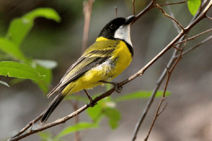 Jenis Burung Kancilan Dan Daerah Persebarannya Whistler Burung Jalak