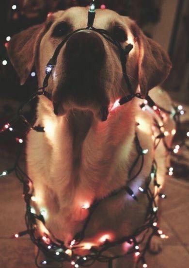 Dog with lights :) | Ok. Fine, it's Christmas, but I still won't admit it.  | Pinterest | Dog, Animal and Pup - Dog With Lights :) Ok. Fine, It's Christmas, But I Still Won't