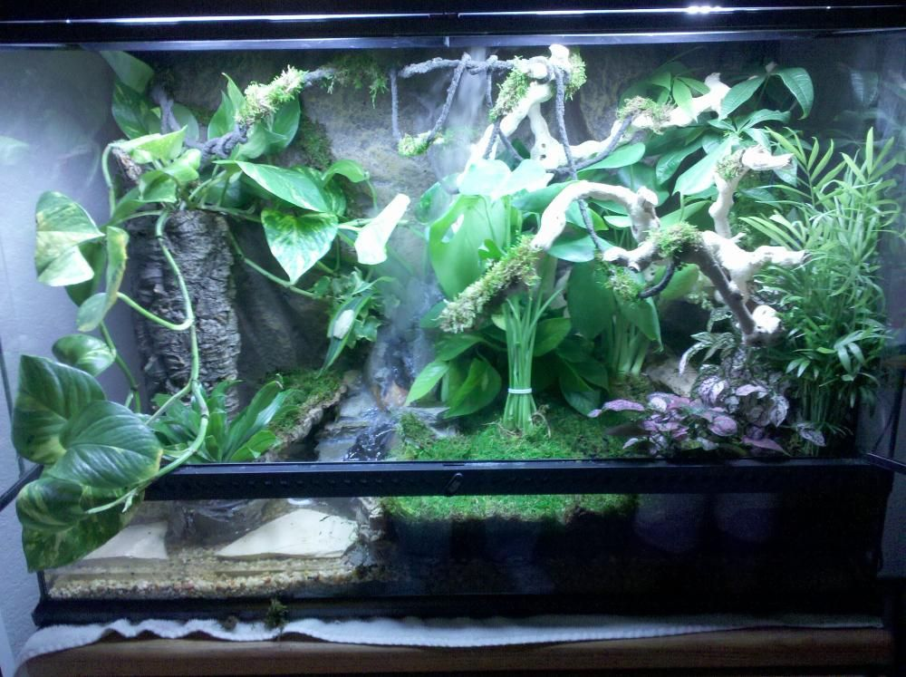 Red Eyed Tree Frog Tank Photo 9 Of 9 From Cheri S Red Eyed Tree