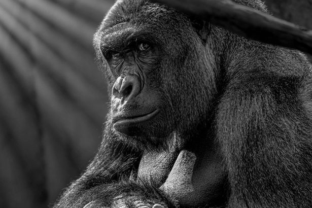 Beautiful Pictures Show Human Side Of Harambe The Gorilla Harambe Gorilla Gorilla Harambe