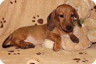 Newark Nj Dachshund Meet Whiskey A Puppy For Adoption Http Www Adoptapet Com Pet 12532441 Newark New Jersey Puppy Adoption Dachshund Dachshund Adoption