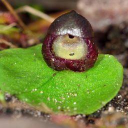 Slaty Helmet Orchid Corybas Incurvus Photo By Chris Lindorff