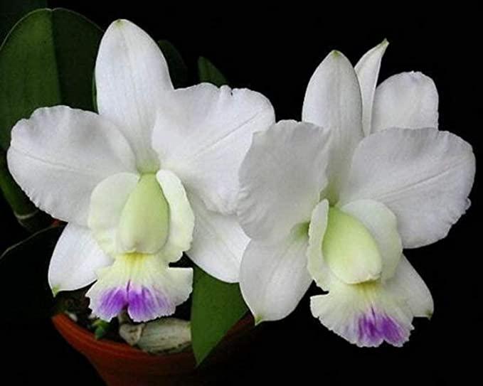 Amazon Com Fragrant Species Cattleya Orchid C Walkeriana Kenny Garden Outdoor In 2020 Cattleya Cattleya Orchid Orchids