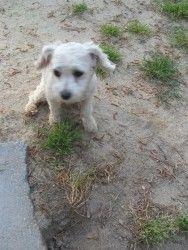 Adopt Kristi On Maltese Dogs Maltese Poodle Mix Poodle Mix Dogs