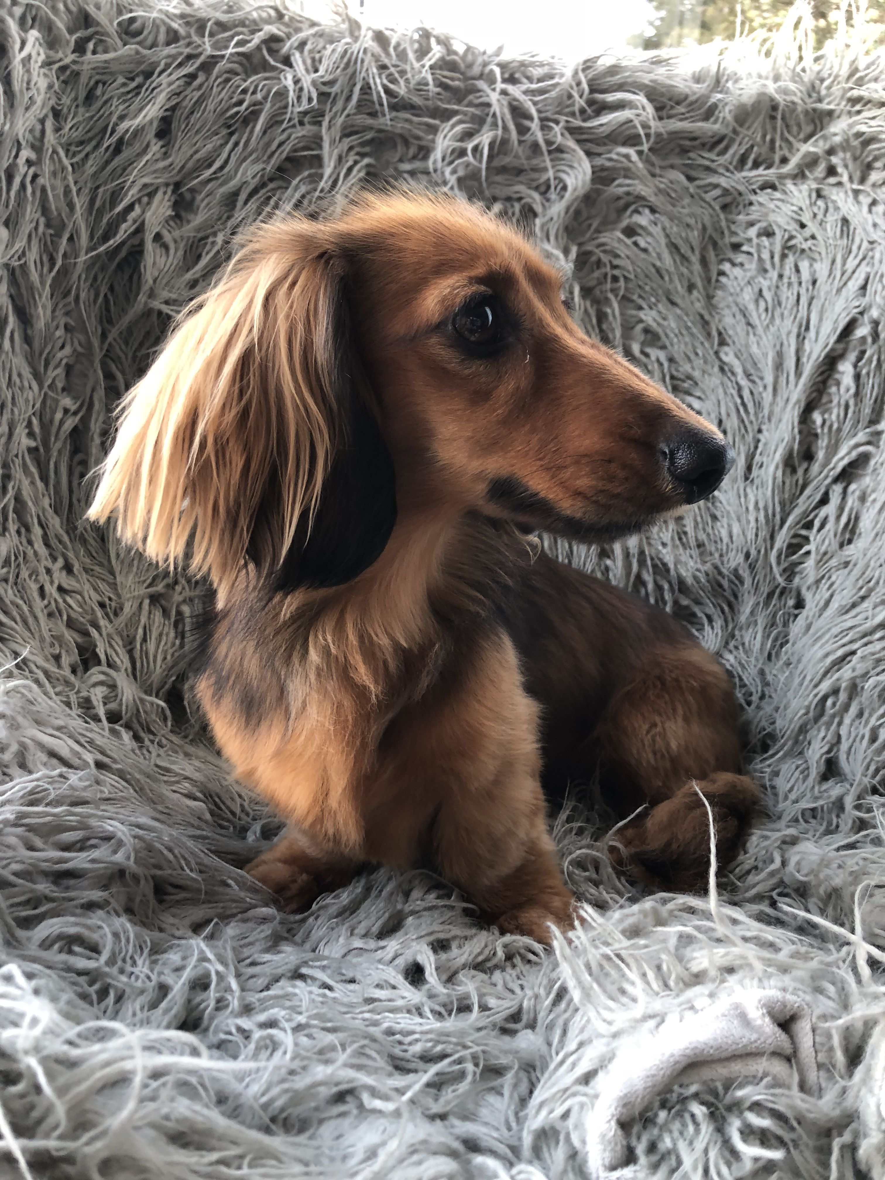 15 Glorious Diverse Dachshund Breed Tips And Ideas Psikovia