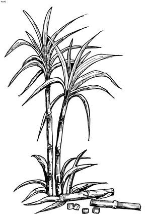 Sugarcane Gif 800 1187 Flower Drawing Plant Drawing Small Tattoos