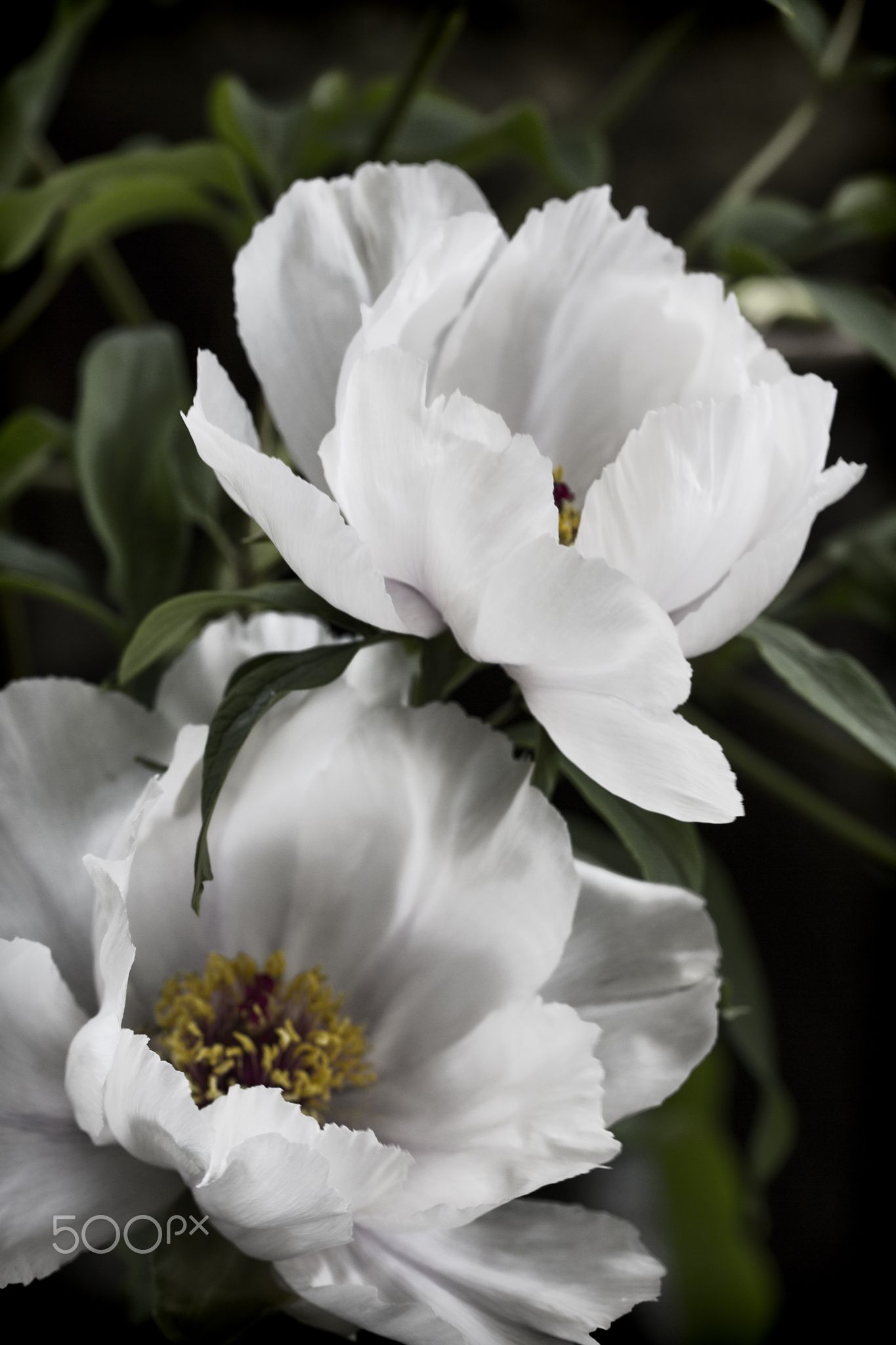 A Pair - These are white-pink tree peony blossoms.