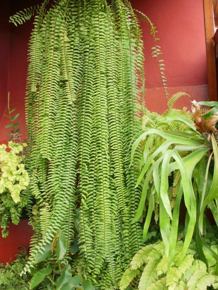 C mo transplantar un helecho jard n y terrazas for Como se llaman las plantas ornamentales
