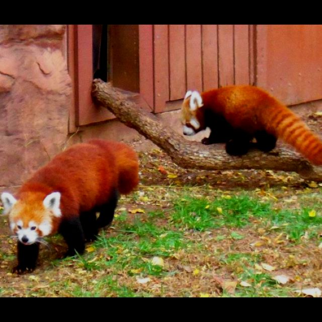 Own a red panda