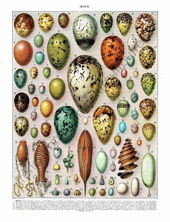 Photo of antique french exotic bird eggs illustration collage sheet digital download
