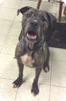 Cleveland Oh Boxer Great Dane Mix Meet Lucky A Dog For