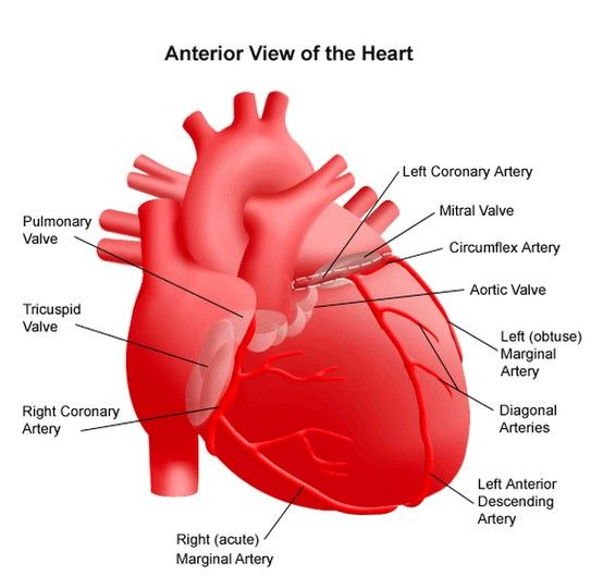 Understanding The Basic Anatomy Of The Heart Simple Break Down