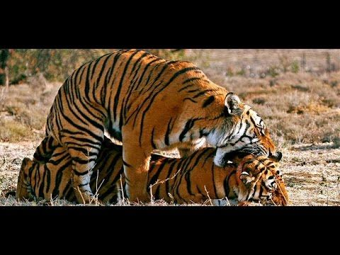 Tiger Mating Tiger Mating With Female