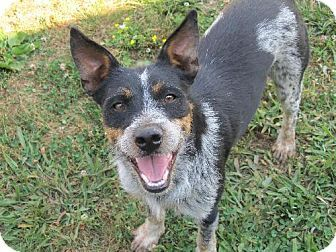 Adopt A Pet Sam Warwick Ri Australian Cattle Dog Mix Australian Cattle Dog Mix Dog Adoption Cattle Dogs Mix