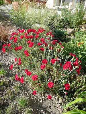 Dianthus Plumarius Desmond Munot Is Similar Sun And Dry Soil